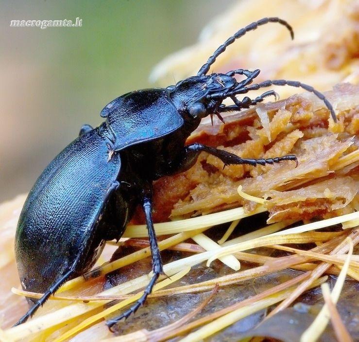 Carabus convexus - Mažasis puošniažygis | Fotografijos autorius : Romas Ferenca | © Macrogamta.lt | Šis tinklapis priklauso bendruomenei kuri domisi makro fotografija ir fotografuoja gyvąjį makro pasaulį.