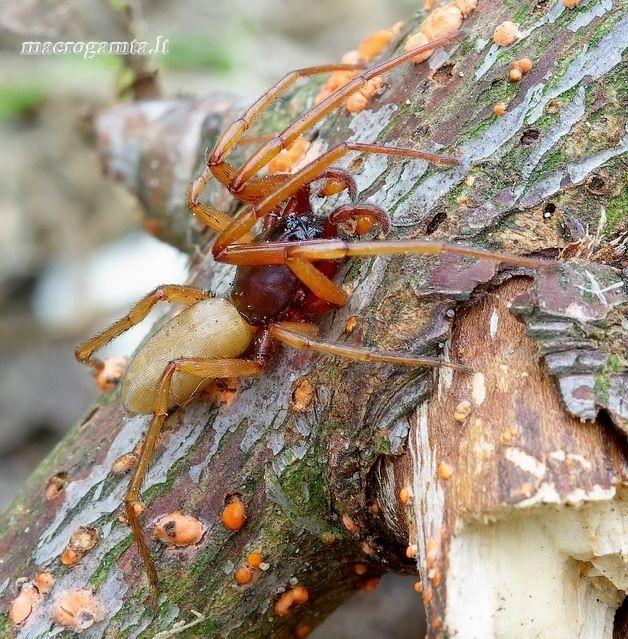 Harpactea rubicunda - Tamsiarudis naktinukas | Fotografijos autorius : Romas Ferenca | © Macrogamta.lt | Šis tinklapis priklauso bendruomenei kuri domisi makro fotografija ir fotografuoja gyvąjį makro pasaulį.