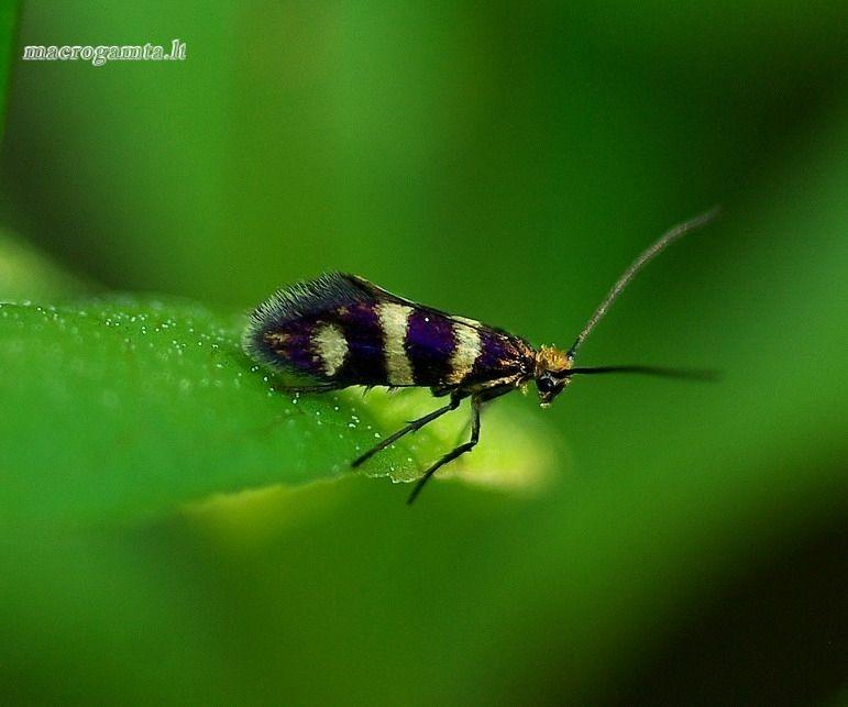 Micropterix aureatella - Auksuotoji dantytoji kandis | Fotografijos autorius : Romas Ferenca | © Macrogamta.lt | Šis tinklapis priklauso bendruomenei kuri domisi makro fotografija ir fotografuoja gyvąjį makro pasaulį.