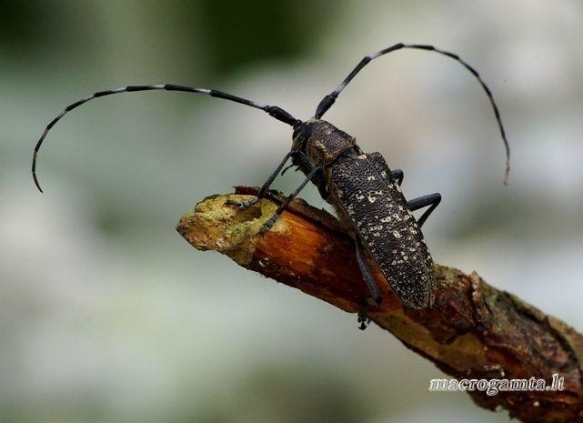 Monochamus galloprovincialis - Pušinis ožiaragis   Fotografijos autorius : Romas Ferenca   © Macrogamta.lt   Šis tinklapis priklauso bendruomenei kuri domisi makro fotografija ir fotografuoja gyvąjį makro pasaulį.