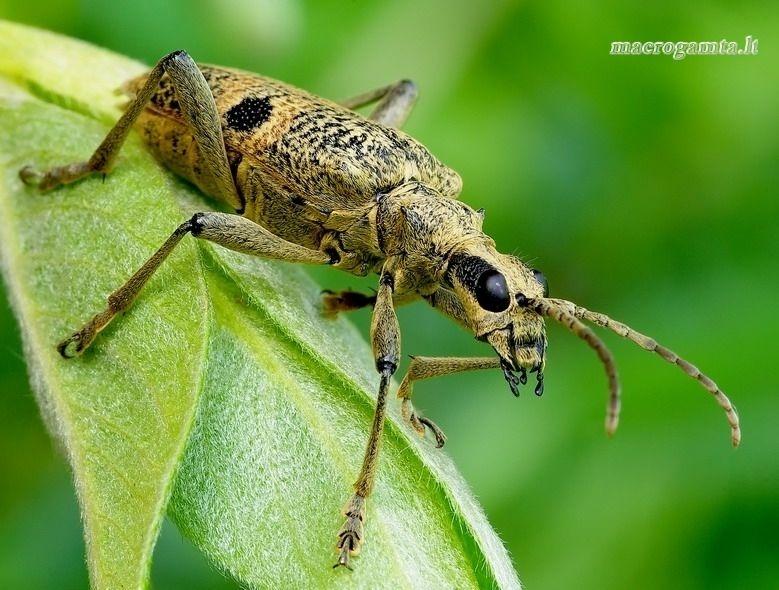 Rhagium mordax - Dygusis ragijus | Fotografijos autorius : Romas Ferenca | © Macrogamta.lt | Šis tinklapis priklauso bendruomenei kuri domisi makro fotografija ir fotografuoja gyvąjį makro pasaulį.