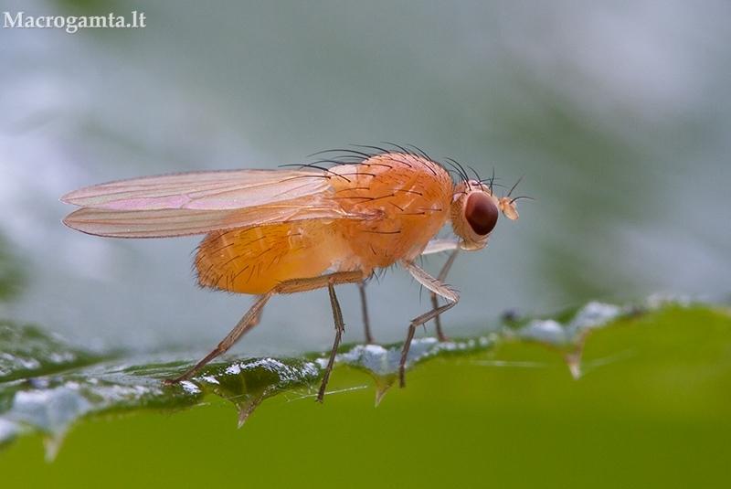 Girinukė - Lauxaniidae | Fotografijos autorius : Žilvinas Pūtys | © Macrogamta.lt | Šis tinklapis priklauso bendruomenei kuri domisi makro fotografija ir fotografuoja gyvąjį makro pasaulį.