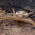 Guobinis krabvoris - Xysticus ulmi ♀   Fotografijos autorius : Žilvinas Pūtys   © Macrogamta.lt   Šis tinklapis priklauso bendruomenei kuri domisi makro fotografija ir fotografuoja gyvąjį makro pasaulį.
