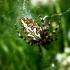 Ąžuolalapis verpstūnas - Aculepeira ceropegia, patelė | Fotografijos autorius : Agnė Kulpytė | © Macrogamta.lt | Šis tinklapis priklauso bendruomenei kuri domisi makro fotografija ir fotografuoja gyvąjį makro pasaulį.