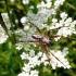 Ąžuolalapis verpstūnas - Aculepeira ceropegia, patinas | Fotografijos autorius : Agnė Kulpytė | © Macrogamta.lt | Šis tinklapis priklauso bendruomenei kuri domisi makro fotografija ir fotografuoja gyvąjį makro pasaulį.