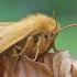 Ąžuolinis verpikas – Lasiocampa quercus | Fotografijos autorius : Agnė Našlėnienė | © Macrogamta.lt | Šis tinklapis priklauso bendruomenei kuri domisi makro fotografija ir fotografuoja gyvąjį makro pasaulį.