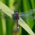 Šarvuotoji skėtė - Leucorrhinia pectoralis | Fotografijos autorius : Aistė Matijošaitytė | © Macrogamta.lt | Šis tinklapis priklauso bendruomenei kuri domisi makro fotografija ir fotografuoja gyvąjį makro pasaulį.