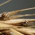 Šešiolikataškė boružė - Tytthaspis sedecimpunctata | Fotografijos autorius : Agnė Našlėnienė | © Macrogamta.lt | Šis tinklapis priklauso bendruomenei kuri domisi makro fotografija ir fotografuoja gyvąjį makro pasaulį.