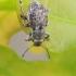 Šeriuotasis straubliukas - Strophosoma capitatum  | Fotografijos autorius : Gintautas Steiblys | © Macrogamta.lt | Šis tinklapis priklauso bendruomenei kuri domisi makro fotografija ir fotografuoja gyvąjį makro pasaulį.