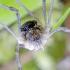 Šienpjovys - Mitopus morio | Fotografijos autorius : Kazimieras Martinaitis | © Macrogamta.lt | Šis tinklapis priklauso bendruomenei kuri domisi makro fotografija ir fotografuoja gyvąjį makro pasaulį.
