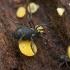 Šienpjovys - Nemastoma lugubre | Fotografijos autorius : Žilvinas Pūtys | © Macrogamta.lt | Šis tinklapis priklauso bendruomenei kuri domisi makro fotografija ir fotografuoja gyvąjį makro pasaulį.