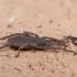 Šienpjovys - Trogulus tricarinatus | Fotografijos autorius : Žilvinas Pūtys | © Macrogamta.lt | Šis tinklapis priklauso bendruomenei kuri domisi makro fotografija ir fotografuoja gyvąjį makro pasaulį.