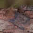 Šilauoginis vėlyvis - Conistra vaccinii | Fotografijos autorius : Žilvinas Pūtys | © Macrogamta.lt | Šis tinklapis priklauso bendruomenei kuri domisi makro fotografija ir fotografuoja gyvąjį makro pasaulį.