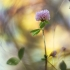 Šilinis dobilas - Trifolium medium | Fotografijos autorius : Vidas Brazauskas | © Macrogamta.lt | Šis tinklapis priklauso bendruomenei kuri domisi makro fotografija ir fotografuoja gyvąjį makro pasaulį.