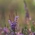 Šilinis viržis - Calluna vulgaris | Fotografijos autorius : Agnė Našlėnienė | © Macrogamta.lt | Šis tinklapis priklauso bendruomenei kuri domisi makro fotografija ir fotografuoja gyvąjį makro pasaulį.