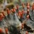 Rusvoji meškapėdė - Peltigera neckeri | Fotografijos autorius : Gintautas Steiblys | © Macrogamta.lt | Šis tinklapis priklauso bendruomenei kuri domisi makro fotografija ir fotografuoja gyvąjį makro pasaulį.