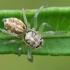 Šokliavoris - Phintella castriesiana ♀   Fotografijos autorius : Gintautas Steiblys   © Macrogamta.lt   Šis tinklapis priklauso bendruomenei kuri domisi makro fotografija ir fotografuoja gyvąjį makro pasaulį.