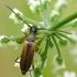 Rusvasis šakalindis - Alosterna tabacicolor | Fotografijos autorius : Vidas Brazauskas | © Macrogamta.lt | Šis tinklapis priklauso bendruomenei kuri domisi makro fotografija ir fotografuoja gyvąjį makro pasaulį.