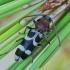 Ūsuotis - Chlorophorus trifasciatus | Fotografijos autorius : Gintautas Steiblys | © Macrogamta.lt | Šis tinklapis priklauso bendruomenei kuri domisi makro fotografija ir fotografuoja gyvąjį makro pasaulį.