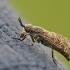 Žabalis - Haematopota pluvialis | Fotografijos autorius : Agnė Našlėnienė | © Macrogamta.lt | Šis tinklapis priklauso bendruomenei kuri domisi makro fotografija ir fotografuoja gyvąjį makro pasaulį.