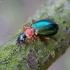 Žaliagalvis lapažygis - Lebia chlorocephala | Fotografijos autorius : Romas Ferenca | © Macrogamta.lt | Šis tinklapis priklauso bendruomenei kuri domisi makro fotografija ir fotografuoja gyvąjį makro pasaulį.