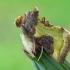 Žaliasis juostuotasis žvilgūnas - Diachrysia tutti  | Fotografijos autorius : Gintautas Steiblys | © Macrogamta.lt | Šis tinklapis priklauso bendruomenei kuri domisi makro fotografija ir fotografuoja gyvąjį makro pasaulį.