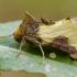 Žaliasis juostuotasis žvilgūnas | Fotografijos autorius : Darius Baužys | © Macrogamta.lt | Šis tinklapis priklauso bendruomenei kuri domisi makro fotografija ir fotografuoja gyvąjį makro pasaulį.