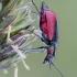 Žaliasis pūsliavabalis - Malachius aeneus | Fotografijos autorius : Darius Baužys | © Macrogamta.lt | Šis tinklapis priklauso bendruomenei kuri domisi makro fotografija ir fotografuoja gyvąjį makro pasaulį.