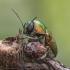 Žaliasis paslėptagalvis - Cryptocephalus sericeus | Fotografijos autorius : Kazimieras Martinaitis | © Macrogamta.lt | Šis tinklapis priklauso bendruomenei kuri domisi makro fotografija ir fotografuoja gyvąjį makro pasaulį.