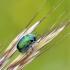 Žaliasis paslėptagalvis | Fotografijos autorius : Darius Baužys | © Macrogamta.lt | Šis tinklapis priklauso bendruomenei kuri domisi makro fotografija ir fotografuoja gyvąjį makro pasaulį.