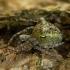Žalsvasis kuprius - Gibbaranea gibbosa | Fotografijos autorius : Žilvinas Pūtys | © Macrogamta.lt | Šis tinklapis priklauso bendruomenei kuri domisi makro fotografija ir fotografuoja gyvąjį makro pasaulį.