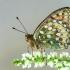 Žalsvasis perlinukas - Argynnis aglaja | Fotografijos autorius : Vaida Paznekaitė | © Macrogamta.lt | Šis tinklapis priklauso bendruomenei kuri domisi makro fotografija ir fotografuoja gyvąjį makro pasaulį.
