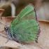 Žalsvasis varinukas - Callophrys rubi | Fotografijos autorius : Romas Ferenca | © Macrogamta.lt | Šis tinklapis priklauso bendruomenei kuri domisi makro fotografija ir fotografuoja gyvąjį makro pasaulį.