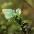 Žalsvasis varinukas - Callophrys rubi | Fotografijos autorius : Vidas Brazauskas | © Macrogamta.lt | Šis tinklapis priklauso bendruomenei kuri domisi makro fotografija ir fotografuoja gyvąjį makro pasaulį.