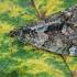 Žalsvoji cidarija - Chloroclysta siterata | Fotografijos autorius : Gintautas Steiblys | © Macrogamta.lt | Šis tinklapis priklauso bendruomenei kuri domisi makro fotografija ir fotografuoja gyvąjį makro pasaulį.