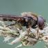Žalutė - Cheilosia sp. | Fotografijos autorius : Žilvinas Pūtys | © Macrogamta.lt | Šis tinklapis priklauso bendruomenei kuri domisi makro fotografija ir fotografuoja gyvąjį makro pasaulį.