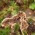 Žeminis karpininkas - Thelephora terrestris | Fotografijos autorius : Vytautas Gluoksnis | © Macrogamta.lt | Šis tinklapis priklauso bendruomenei kuri domisi makro fotografija ir fotografuoja gyvąjį makro pasaulį.