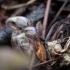 Žibutė | Fotografijos autorius : Saulius Drazdauskas | © Macrogamta.lt | Šis tinklapis priklauso bendruomenei kuri domisi makro fotografija ir fotografuoja gyvąjį makro pasaulį.