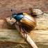 Žiedinis grambuoliukas - Anomala dubia | Fotografijos autorius : Vitalii Alekseev | © Macrogamta.lt | Šis tinklapis priklauso bendruomenei kuri domisi makro fotografija ir fotografuoja gyvąjį makro pasaulį.