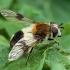 Žiedmusė - Leucozona lucorum | Fotografijos autorius : Žilvinas Pūtys | © Macrogamta.lt | Šis tinklapis priklauso bendruomenei kuri domisi makro fotografija ir fotografuoja gyvąjį makro pasaulį.