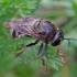 Žiedmusė - Microdon devius | Fotografijos autorius : Romas Ferenca | © Macrogamta.lt | Šis tinklapis priklauso bendruomenei kuri domisi makro fotografija ir fotografuoja gyvąjį makro pasaulį.