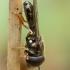 Žiedmusė - Paragus haemorrhous♂ | Fotografijos autorius : Žilvinas Pūtys | © Macrogamta.lt | Šis tinklapis priklauso bendruomenei kuri domisi makro fotografija ir fotografuoja gyvąjį makro pasaulį.