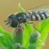 Žiedmusė - Scaeva pyrastri   Fotografijos autorius : Gintautas Steiblys   © Macrogamta.lt   Šis tinklapis priklauso bendruomenei kuri domisi makro fotografija ir fotografuoja gyvąjį makro pasaulį.