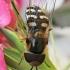 Žiedmusė - Scaeva pyrastri | Fotografijos autorius : Gintautas Steiblys | © Macrogamta.lt | Šis tinklapis priklauso bendruomenei kuri domisi makro fotografija ir fotografuoja gyvąjį makro pasaulį.