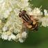 Žiedmusė - Helophilus hybridus ♀ | Fotografijos autorius : Gintautas Steiblys | © Macrogamta.lt | Šis tinklapis priklauso bendruomenei kuri domisi makro fotografija ir fotografuoja gyvąjį makro pasaulį.