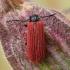 Žiedvabalis - Pyropterus nigroruber | Fotografijos autorius : Gintautas Steiblys | © Macrogamta.lt | Šis tinklapis priklauso bendruomenei kuri domisi makro fotografija ir fotografuoja gyvąjį makro pasaulį.