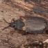 Juosvoji žieviablakė - Aneurus avenius ♀ | Fotografijos autorius : Žilvinas Pūtys | © Macrogamta.lt | Šis tinklapis priklauso bendruomenei kuri domisi makro fotografija ir fotografuoja gyvąjį makro pasaulį.