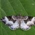 Žliūginė cidarija - Euphyia unangulata | Fotografijos autorius : Vaida Paznekaitė | © Macrogamta.lt | Šis tinklapis priklauso bendruomenei kuri domisi makro fotografija ir fotografuoja gyvąjį makro pasaulį.