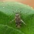 Ilgablauzdė žolblakė - Phytocoris longipennis | Fotografijos autorius : Vidas Brazauskas | © Macrogamta.lt | Šis tinklapis priklauso bendruomenei kuri domisi makro fotografija ir fotografuoja gyvąjį makro pasaulį.