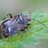 Žolblakė - Deraeocoris flavilinea | Fotografijos autorius : Gintautas Steiblys | © Macrogamta.lt | Šis tinklapis priklauso bendruomenei kuri domisi makro fotografija ir fotografuoja gyvąjį makro pasaulį.